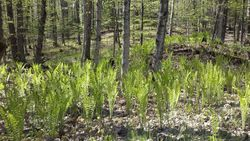 Ferns bigger