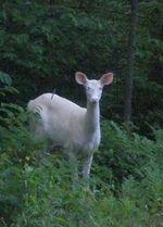 Albino_deer2