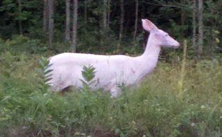 Albino Deer 044