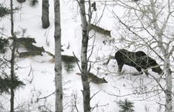 Wolf:moose