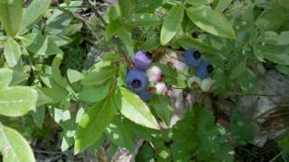 Blueberries 003