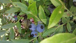 Blueberries 006