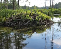Beaver Lodge Close Up