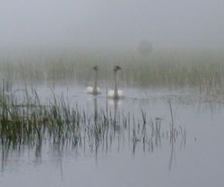 Two Trumpter Swans
