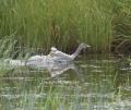 Baby Trumpeter Swan2