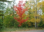 Red_tree2_3